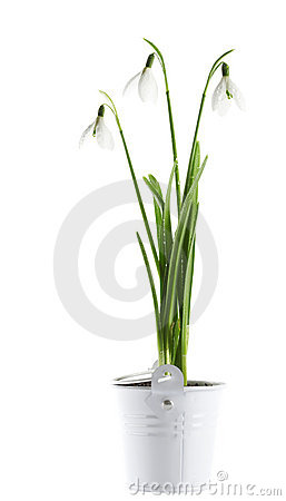 Bunch of  snowdrop flowers in a tin basket