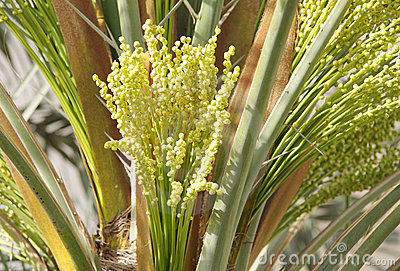 Bunch of tiny green dates buds in date palm tree