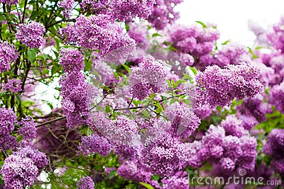 Bunch of violet lilac