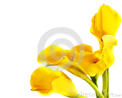 Bunch of yellow cala lilies