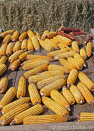 Bunch of yellow corn after harvest of the farmer