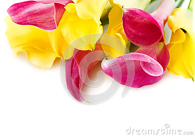 Bunch of yellow and pink cala lilies