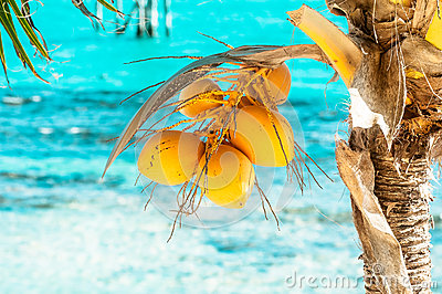 Bunch of the young yellow coconuts on the palm tre