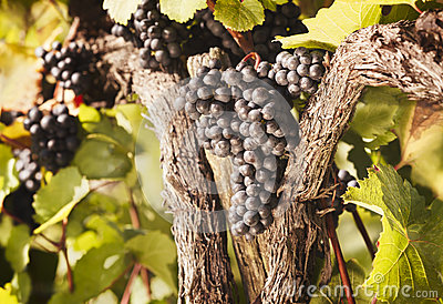 Bunches of blue grapes hanging in vine.