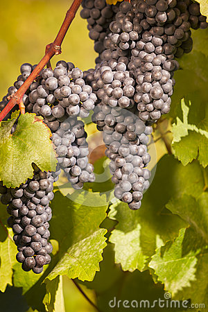 Bunches of blue grapes hanging on vine