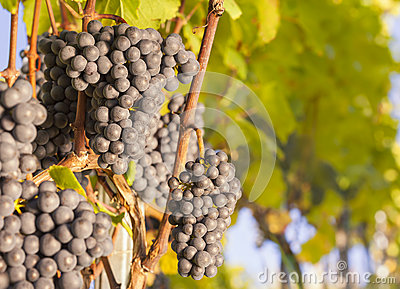 Bunches of blue grapes on vine.