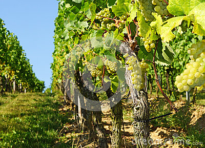 Bunches of grapes on vines