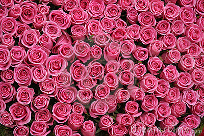 Bunches of pink roses