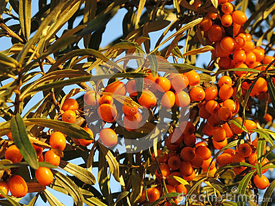 Bunches of sea buckthorn