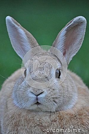 Bunny να κοιτάξει επίμονα