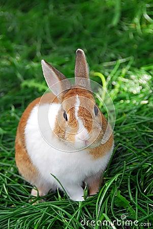 Free Bunny Rabbit Royalty Free Stock Image - 832796