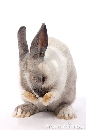 Free Bunny Rabbit Cleaning Royalty Free Stock Photo - 12947305
