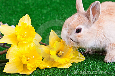 Bunny and yellow narcissus