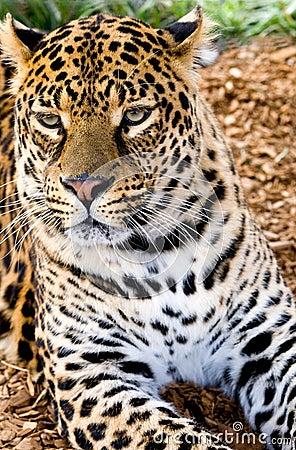 Beschmutzter leopard der in der nachmittagssonne lounging ist canon