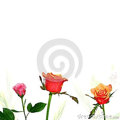 Bunte Rosen auf weißem Hintergrund