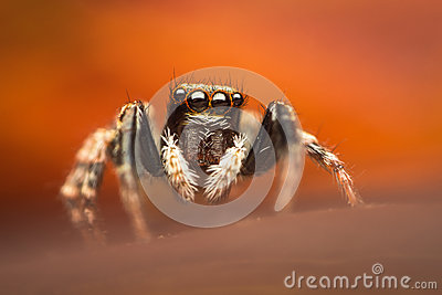 Bunte springende Spinne
