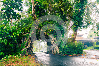Bunut Bolong, Great huge tropical nature live green Ficus tree with tunnel arch of interwoven tree roots at the base for road Editorial Stock Photo