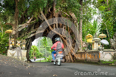Bunut Bolong, Great huge tropical nature live green Ficus tree with tunnel arch of interwoven tree roots at the base for walking Editorial Stock Photo