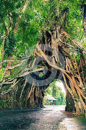 Bunut Bolong, Great huge tropical nature live green Ficus tree with tunnel arch of interwoven tree roots at the base for walking Stock Photo