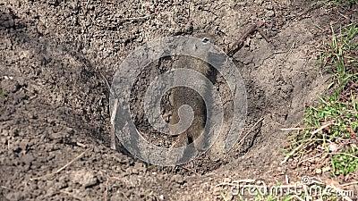 Buraco de Weasel em campo, lontra, casa de marta, ambiente natural, animais marten vídeos de arquivo