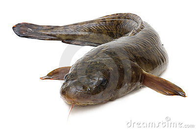 Burbot Royalty Free Stock Photo - Image: 16890675
