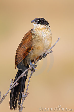 Burchell s coucal
