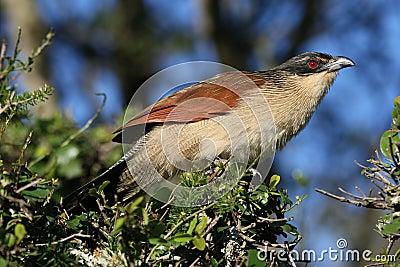 Burchell s Coucal Bird