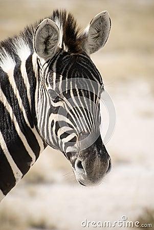 Burchell s Zebra