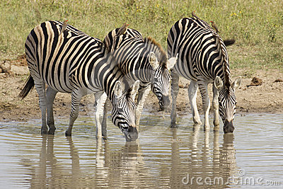 Burchell s Zebra drinking, South Africa