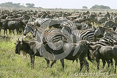 Burchell s zebra (Equus burchelli)