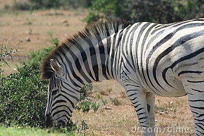 Burchell s zebra (Equus burchellii) close-up