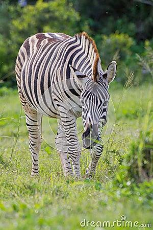 Burchell s zebra (equus quagga)