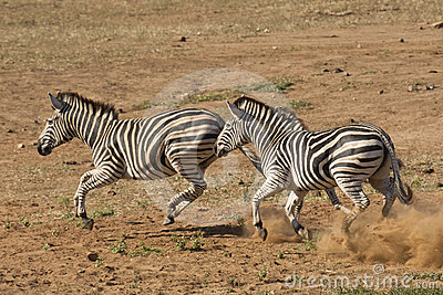 Burchell s Zebra running, South Africa