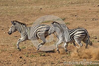 Burchell s Zebra running, South Africa