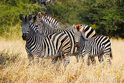 Burchell s Zebras (Equus burchellii)