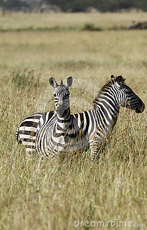 Burchell zebras του s