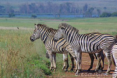Burchell zebras on african grass plains