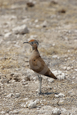 Burchells Courser