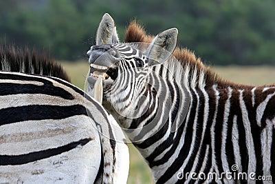 burchells lustiges gesicht des zebra lizenzfreie stockfotografie bild 5473657. Black Bedroom Furniture Sets. Home Design Ideas