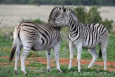 Burchells or Plains Zebra