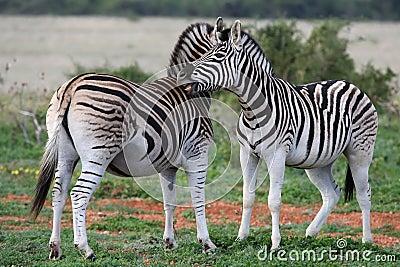 Burchells or Plains Zebra