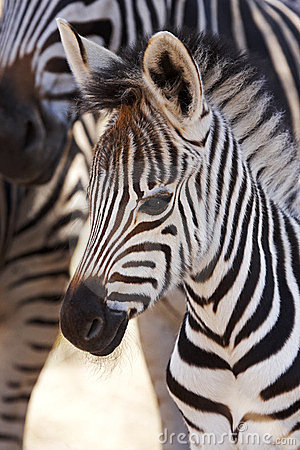 Free Burchells Zebra Foal With Mother Royalty Free Stock Photography - 24049157