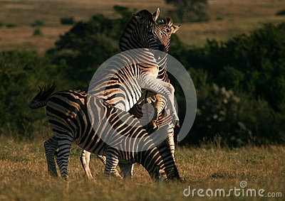 Burchells Zebra jumping/fighting in South Africa.