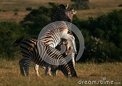 Burchells Zebra jumping/fighting in South Africa.