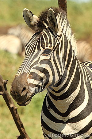 Free Burchells Zebra Portrait Stock Photo - 20251250