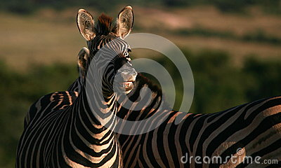Burchells zebra smiling and showing his teeth