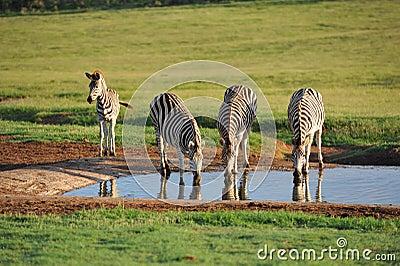 Burchells zebras at waterhole early morning