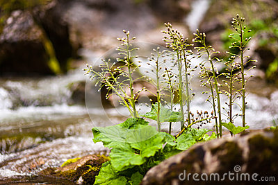 Burdock buds in a river