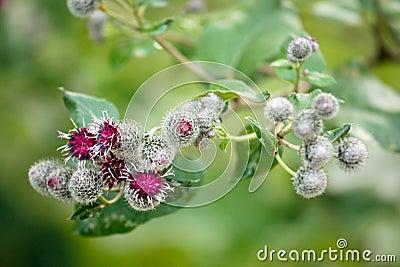 Burdock flowers (arctium minus)