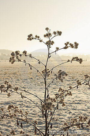 Burdock in haze